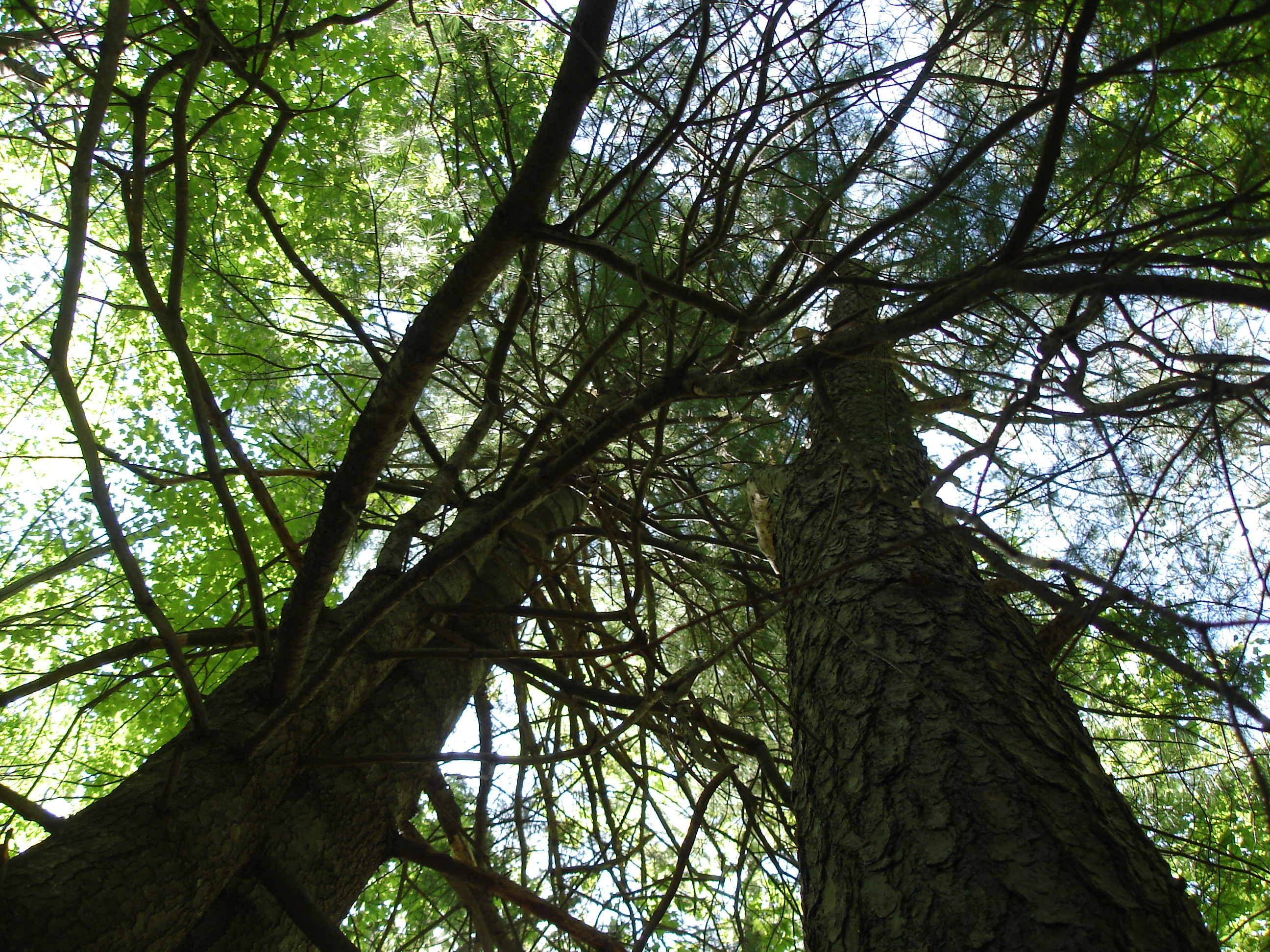 Looking up at wooded treetops
